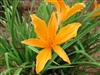 Aztec Gold Daylily-Hemerocallis 'Aztec Gold' Ground cover Zone 3
