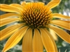 ECHINACEA BIG SKY HARVEST MOON GOLD BLOOMS ON GREEN FOLIAGE ZONE 4-8
