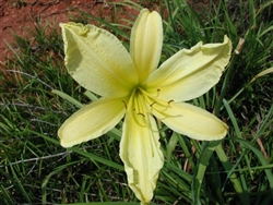 Hyperion Daylily-Hemerocallis 'Hyperion'Yellow Ground Cover Zone:  3