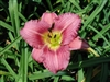 Purple de Oro Daylily-Hemerocallis 'Purple de Oro' Purplish Red with Yellow Throat and Ruffled Edges Ground Cover Zone:  4