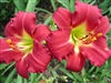 Ruby Stella Daylily-Hemerocallis 'Ruby Stella' Blooms Red with Yellow Throat Ground Cover Zone:  3