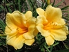 Stella de Oro Daylily-Hemerocallis 'Stella de Oro' Blooms Golden Yellow Ground Cover  Zone:  3