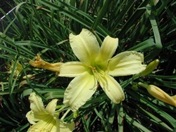 White Triangle Daylily-Hemerocallis 'White Triangle' Blooms Light Yellow Ground Cover  Zone:  3