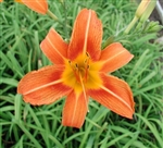 Orange Daylily-Hemerocallis fulva Blooms orange with burgundy halo and yellow throat/mid-rib Ground Cover Zone:  3
