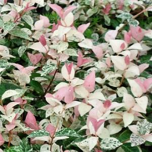 Tricolor Jasmiine Trachelospermum Asiaticum Tricolor Z 8 11