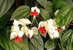 BLEEDING HEART GLORY BOWER VINE-Clerodendrum thomsoniae Zone 9-10