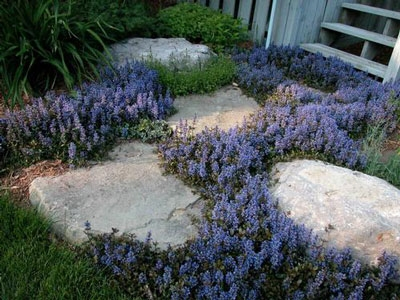Ajuga reptans chocolate chip perennial ground cover zone 4 alternative views mightylinksfo