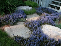 Ajuga-reptans 'Chocolate Chip' Perennial Ground Cover Zone 4