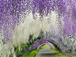 WISTERIA WHITE WISTERIA-Wisteria sinensis 'Alba'-White frgrant grape-like flower clusters Z 5