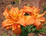 Double Orange Daylily-Hemerocallis fulva 'Kwanso' Blooms are Orange with a Burgundy Blush Ground Cover  Zone:  3