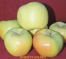 Apple Tree Dorsett Golden-Malus domestica Zone 5 Chill Hrs: 100-250