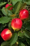 Apple Tree Gala--Malus domestica  Zones 5 Chill hrs 500