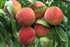 Elberta Peach-Prunus persica USDA Zones 5-9   Chill:  800 hrs