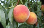 REDSKIN PEACH TREE-Prunus persica USDA Zones 5-8  Chill:  750 hrs