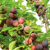 PLUM TREE METHLEY--Prunus salicina Zones 5-9  Chill:  250