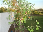 Pluot Tree 'FLAVOR KING'--Prunus salicina X Prunus armeniaca Red Orange Fruit  Zones 5-9  Chill:  400-500