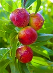 NECTARINE TREE 'SUNDOLLAR'--Prunus salicina  Zone 5  Chill hrs 400
