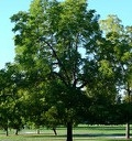 BLACK WALNUT TREE NUTTS SHADE WOOD Z 4