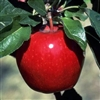 Out of stock till Fall  Apple Tree American Winesap--Malus domestica Zones 4 Chill: 800 hrs