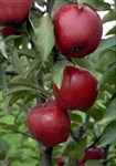 Apple Tree Jonathan--Malus domestica Zones 3 Chill: 800 hrs