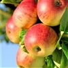 Apple Tree HONEY CRISP--Malus domestica Zones 3 Chill: 800 hrs