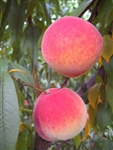 Out of stock ENCORE PEACH--Prunus persica USDA Zones 6 Chill: 900 hrs