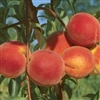 LORING PEACH--Prunus persica USDA Zones 7 Chill: 750 hrs