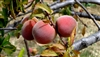 FLAVORICH PEACH--Prunus persica USDA Zones 6 Chill: 700 hrs