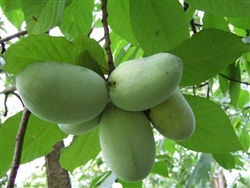 PAW PAW TREE....Asimina Triloba  FRUIT LIKE BANANA Z 2-11
