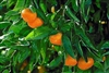 ORANGE SETO SATSUMA MANDARIN BUSH- Citrus unshiu 'Seto' Zone 8a
