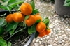 ORANGE BUMPER SATSUMA MANDARIN ORANGE TREE- Citrus reticulata 'Gremoy8' Zone 9