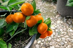ORANGE BUMPER SATSUMA MANDARIN ORANGE TREE- Citrus reticulata 'Gremoy8' Zone 9a