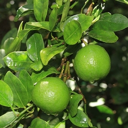 Lime Mexican Lime Tree-Citrus aurantifolia Zone 9 Tropical