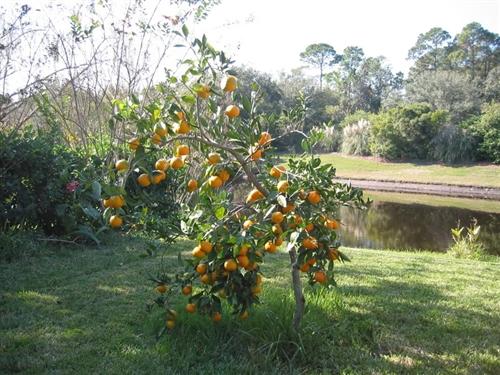 orange calamondin orange tree citrus mitis zone 8b. Black Bedroom Furniture Sets. Home Design Ideas