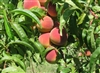MAJESTIC PEACH--Prunus persica USDA Zones 5 Chill: 800 hrs