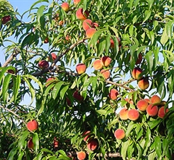 CONTENDER PEACH--Prunus persica USDA Zones 2 Chill: 1050 hrs