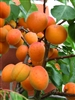 Apricot Tree Moorpark- Prunus armeniaca Zones 4 Chill: 600 hrs