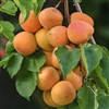 Apricot Tree ROYAL- Prunus armeniaca Zones 7 Chill: 400 hrs