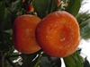 ORANGE ARCTIC FROST SATSUMA MANDARIN-Citrus reticulata 'Gremoy79'ZONE:  8b TAKE A 17 DEGREE FREEZE!!!