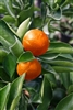 "Orange Orange Frostâ""¢Satsuma- Citrus reticulata 'Gremoy47' 8b Take a 17 degree freeze!!"