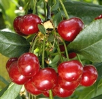 CHERRY MONTMORENCY CHERRY Prunus cerasus 'Montmorency' Zones 4 Chill: 500 hrs