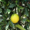 TEMPORERILY OUT. LEMON DROP CITRUS BUSH-Citrofortunella lemonquat Zone 10