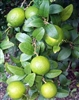"Lime Thornless ""KEY LIME"" Mexican Lime Tree-Citrus aurantifolia Zone 10 Tropical"