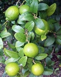 Lime Thornless Mexican Lime Tree-Citrus aurantifolia Zone 10 Tropical