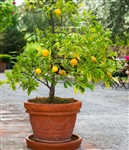 NAVEL ORANGE-Citrus sinesis 'Osbeck' Zone: 9a