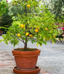 NAVEL ORANGE-Citrus sinesis 'Osbeck' Zone: 8