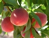 Florida King Peach-Prunus persica USDA Zones 8   Chill:  300 hrs