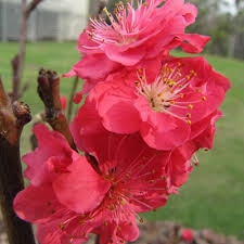 Red Baron Peach-Prunus persica USDA Zones 7   Chill:  250 hrs