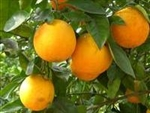 HAMLIN SWEET ORANGE-Citrus sinensis Hamlin Zone 8