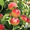La Feliciana Peach-Prunus persica USDA Zones 8 Chill: 400 hrs